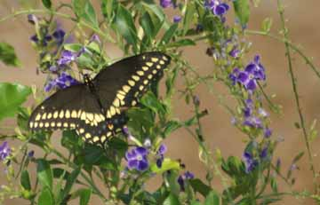 Black Swallowtail necturing on  Golden drewdrop