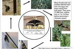Black Swallowtail life cycle