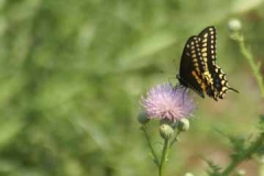 Black Swallowtail necturing on Thistle