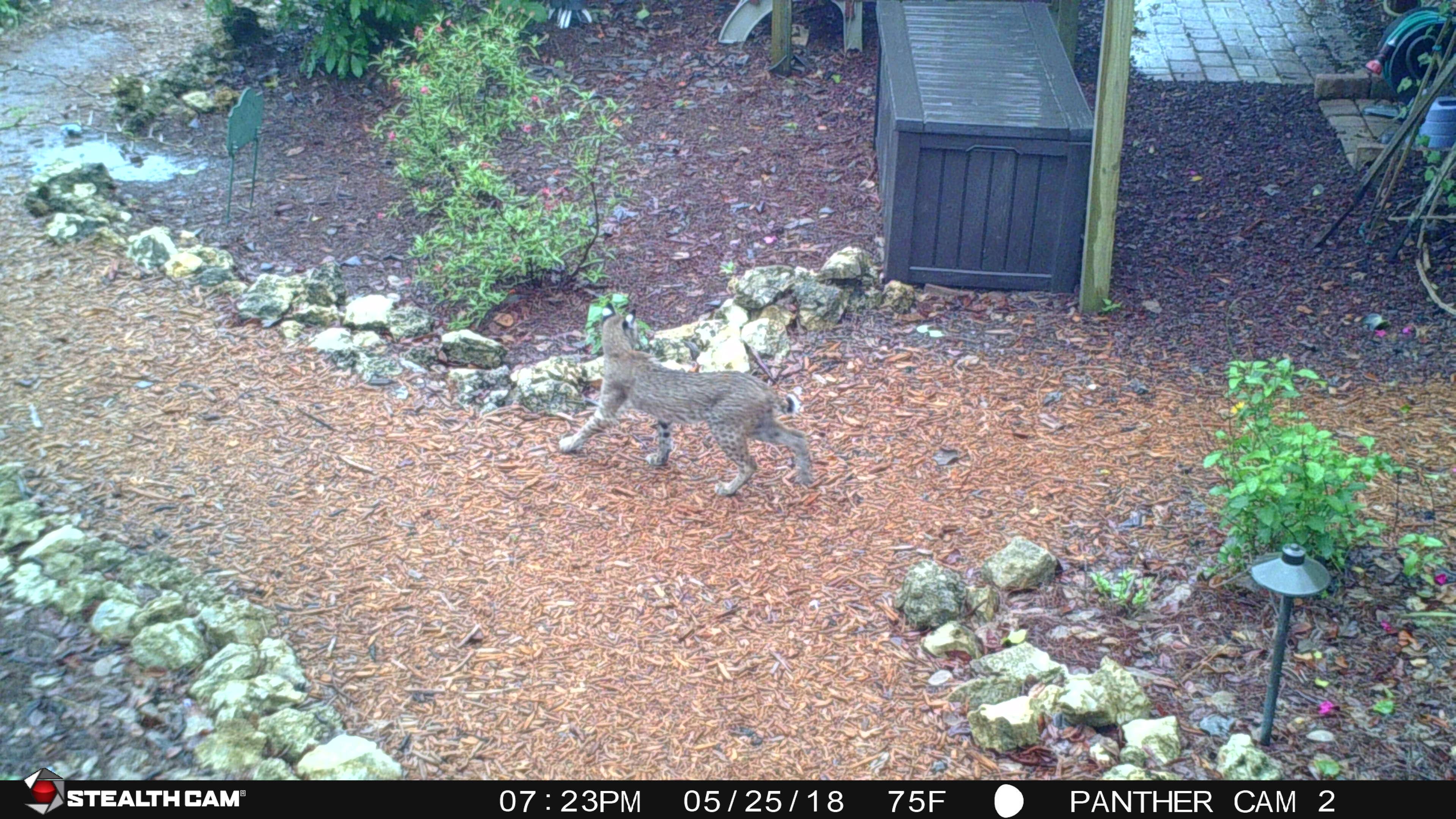 bobcat in BFG (3)