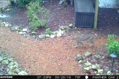 bobcat in BFG (2)