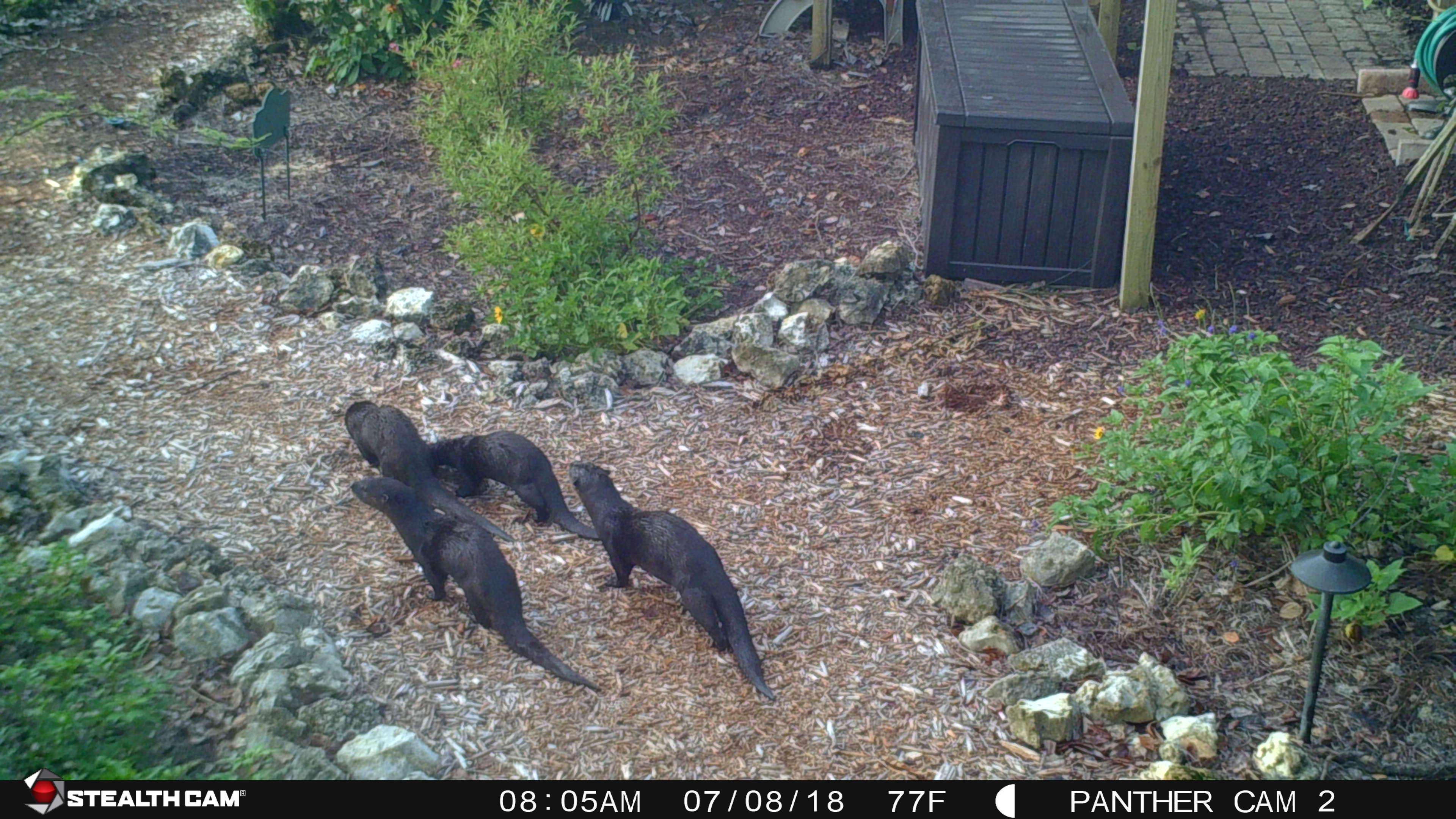 Otter family 7-8-18 (3)