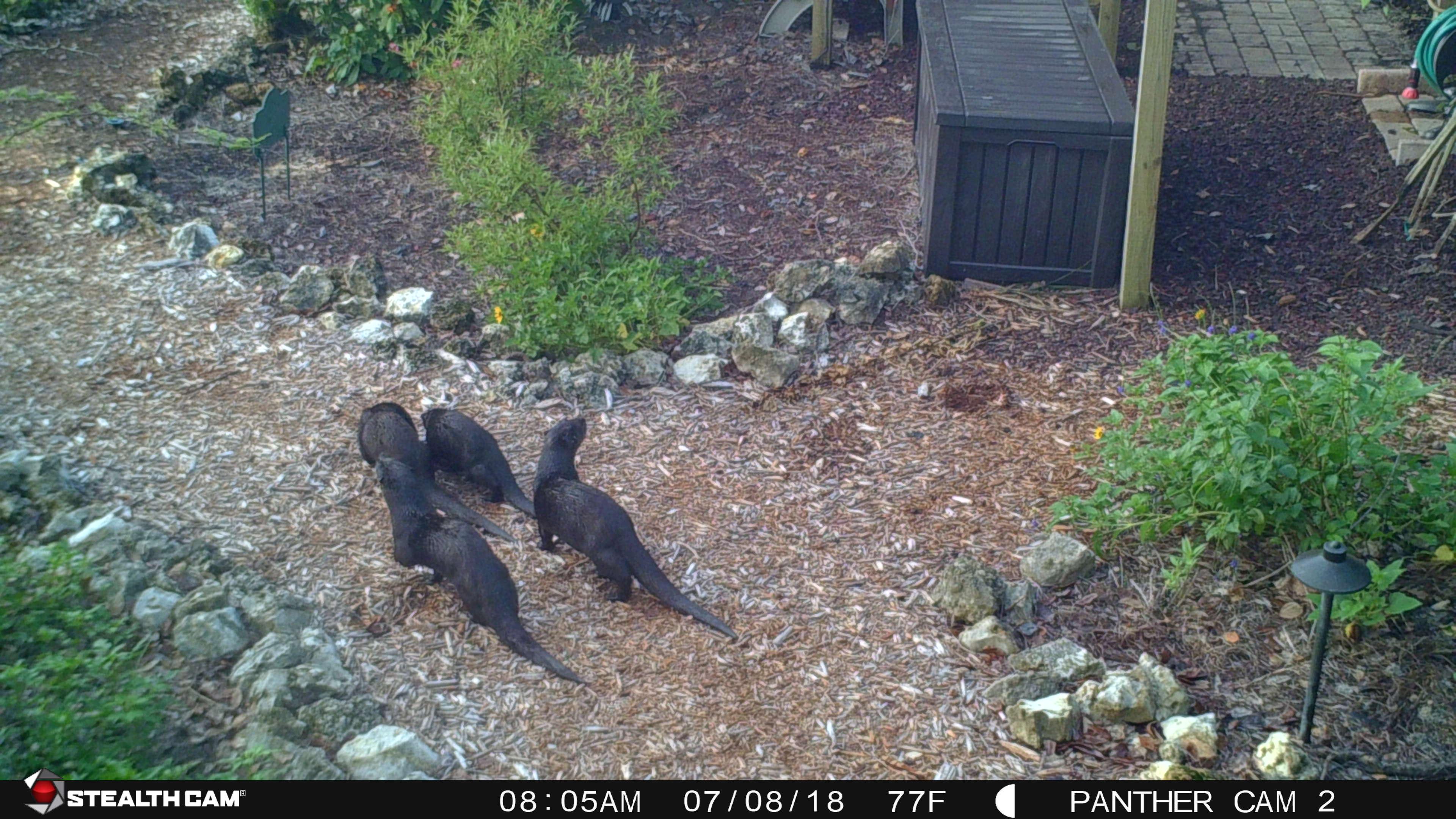 Otter family 7-8-18 (4)