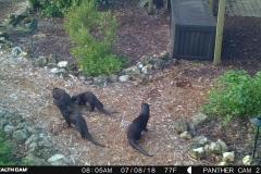 Otter family 7-8-18 (2)